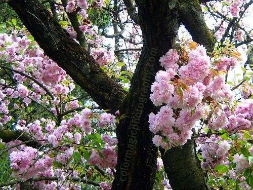 Japanese cherry blossoms-cherry tree