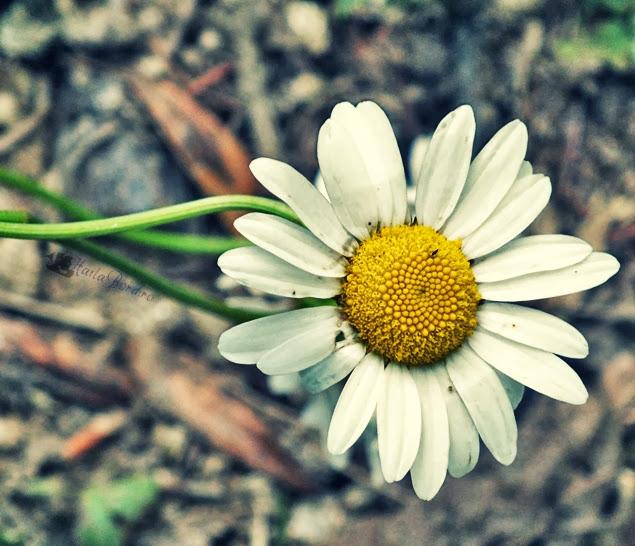 floare traseu belvedere mocanita