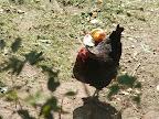 Divoké ptactvo našich vesnic