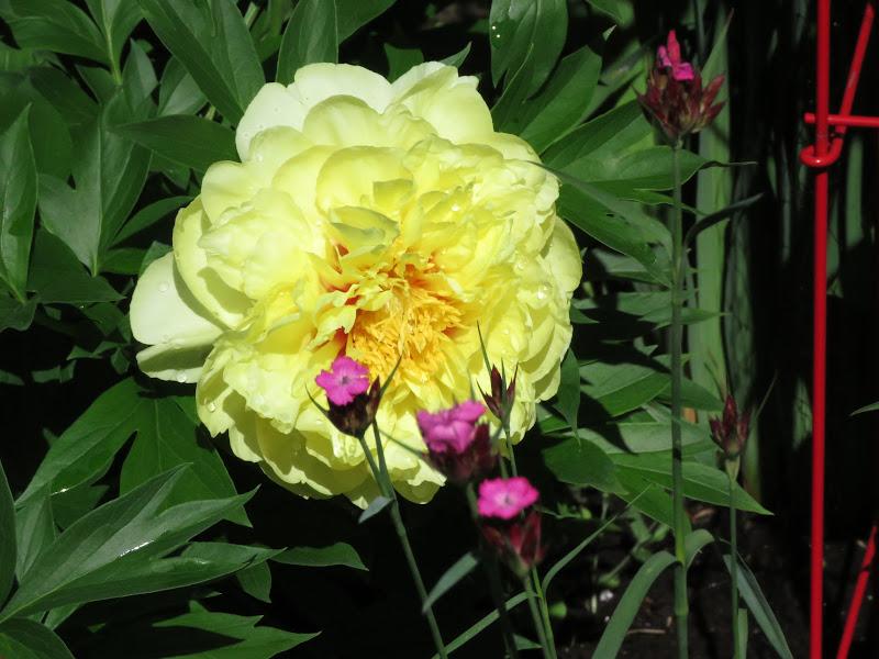 Pivoine dont j'attend la floraison depuis 2 ans IMG_6392
