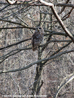 A barred owl in a spring tree.