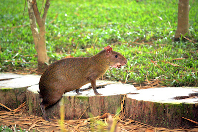 Agouti in Tambopata in the Amazon in Peru