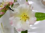 中心部は白く 弁端は淡桃色 牡丹咲き 極大輪