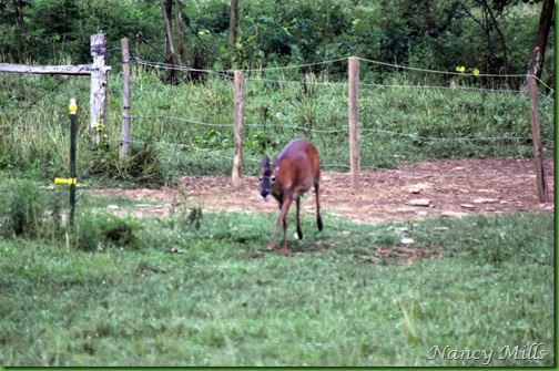 D2018-07-11 33 - Cades Cove Walk -  Exhausted deer comes under fence