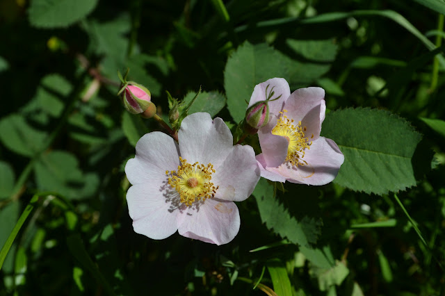 rock rose blooming