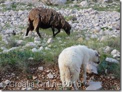 Croatia Online - Pag Sheep