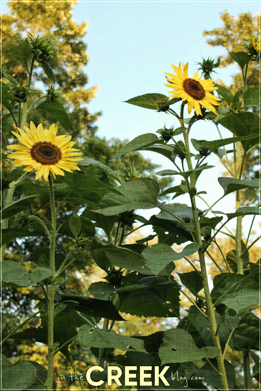 Sunflowers | On The Creek Blog