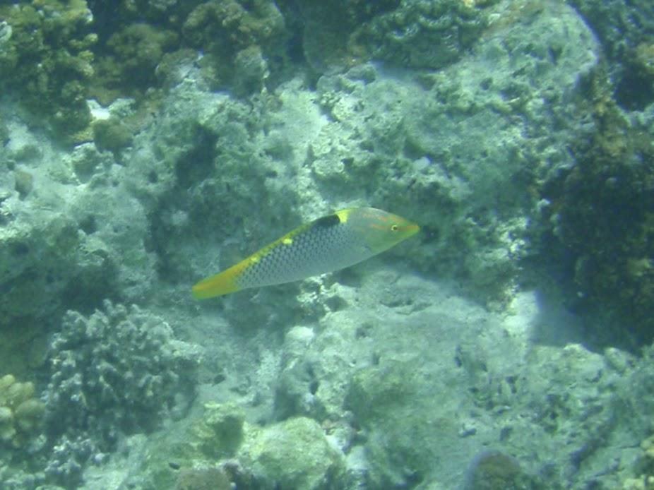 Halichoeres hortulanus (Checkerboard Wrasse), Aitutaki.