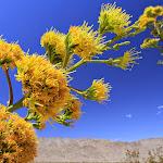 Agave flowers - цветы агавы