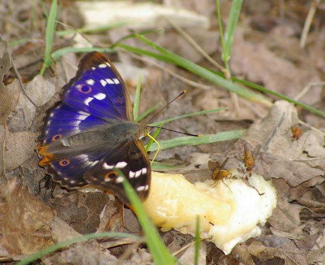 Apatura ilia DENIS & SCHIFFERMÜLLER, 1775, mâle. Les Hautes-Lisières (Rouvres, 28), 16 juin 2011. Photo : J.-M. Gayman