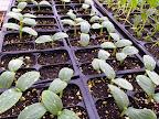 Cucumbers May 3.