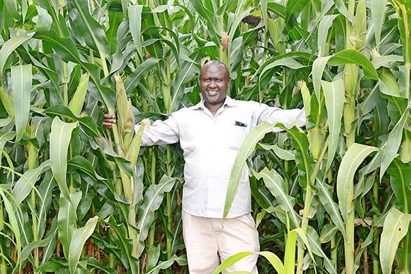 Maize farming in Kenya in 2019. PHOTO | BANA