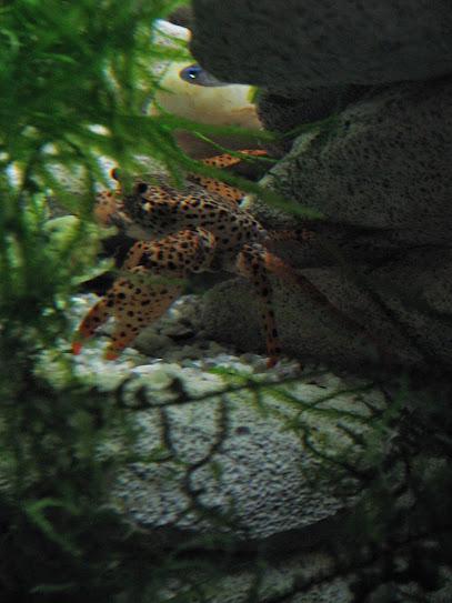 Дом для леопардов (Parathelphusa pantherina) IMG_3186%5B1%5D