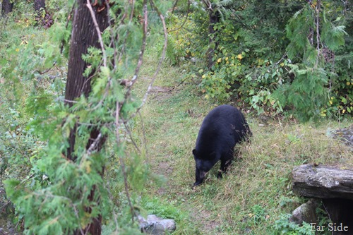 bear heading out of the woods