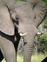 Elephant - Okavango Delta
