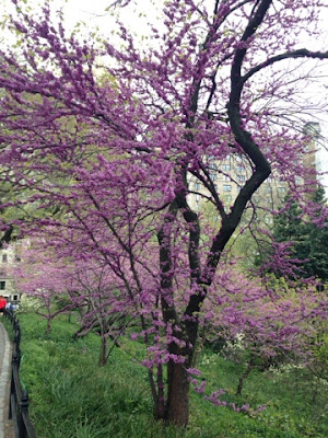 Purple Blossoms in late April, Central Park, New York City, near the Metropolitan Museum of Art