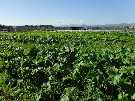 防虫ネットをとって、青々とした畑。奥に大岳山が見えます。