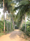 Coconut Palms on the Driveway