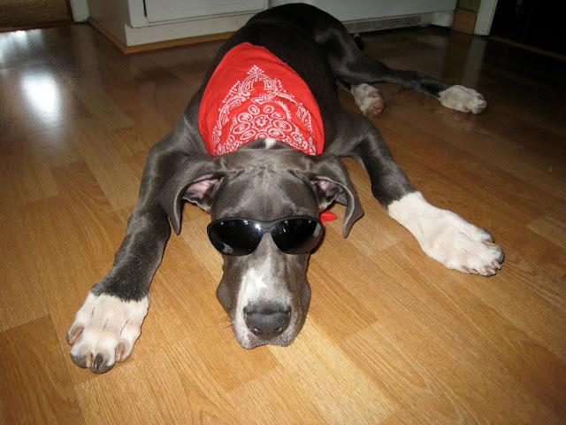 Dynamite Danes Family Album #2 - cool_dog.JPG