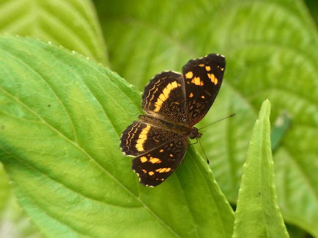 Anthanassa drusilla drusilla (C. Felder & R. Felder, 1861). Santa María en Boyacá, 1200 m (Boyacá, Colombie), 18 novembre 2015. Photo : J. Michel