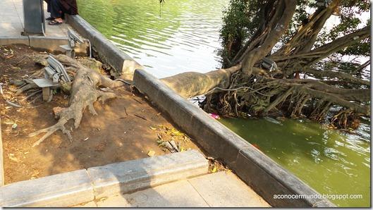 Hanoi. curioso árbol caído en el lago de Hoan Kiem