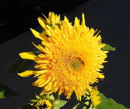 Sunflower disposition