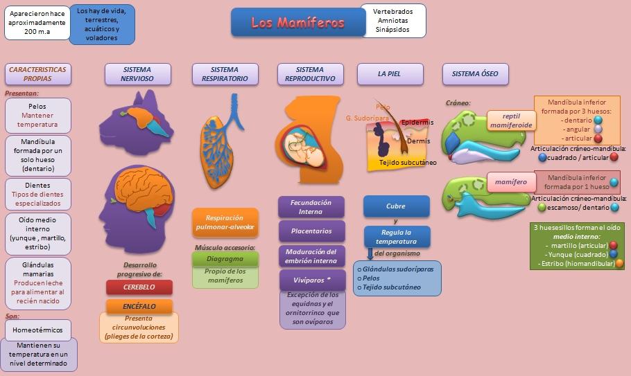 Los Mamíferos | Esquemas, diagramas, gráficos y mapas conceptuales.