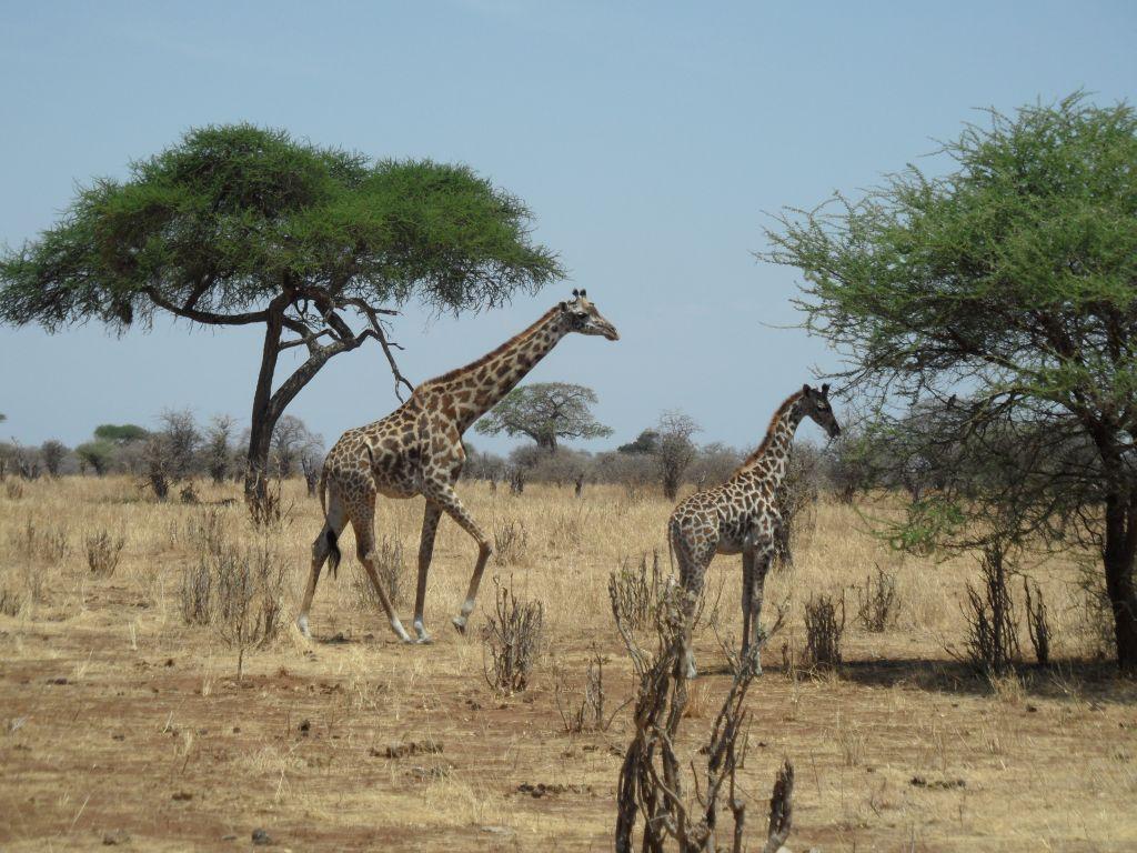 Tarangire'de zarif zürafalar