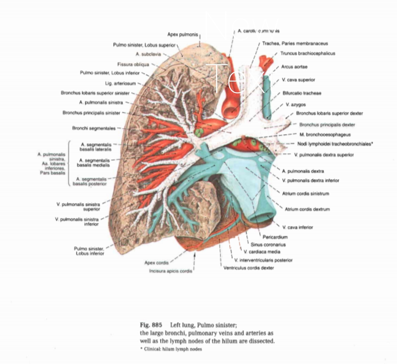 Anatomi Paru Pulmonal Pada Tubuh Manusia Sipat