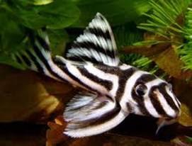 Hypancistrus zebra - zebraharcsa