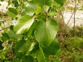 Aulne à feuilles en Aulne a feuilles en cœur, Alnus cordata, Betulacees, 4.JPG