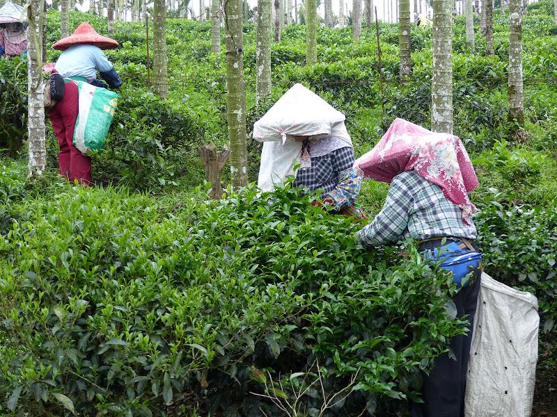 Puli, Nantou county, cueillette de thé - P1050537.JPG