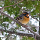 Varied Thrush at Burri feeder on Clear Lake, north of Peterborough. (Tony Bigg)