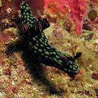 Nudibranch (Malapascua)