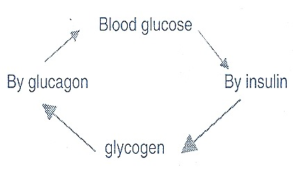 insulin-glucagon-endocrine-gland