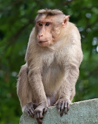 Shock the monkey! Japan uses primates as radiation detectors