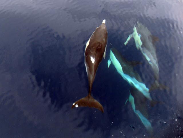 Esses magnificos Cetacios -  Cachalotes - Golfinhos etc SDC12417