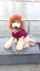 Max is Laureen's standard poodle and her work of art