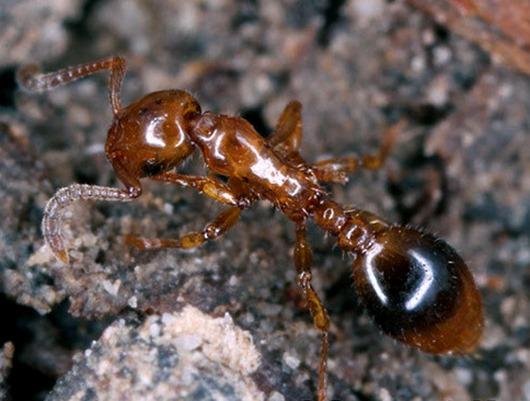 formicoxenus-nitidulus
