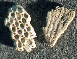 Cupularia canariensis