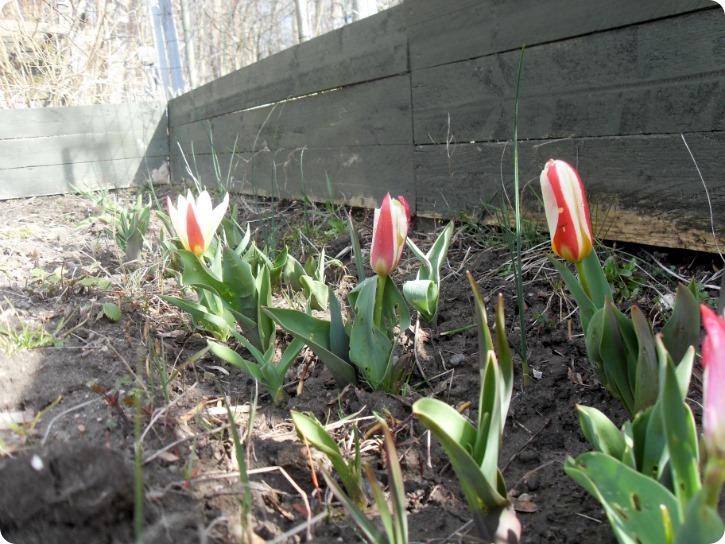 Skravlede tulipaner