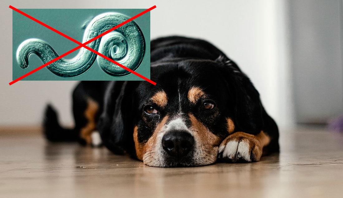 El gusano pulmonar en los perros