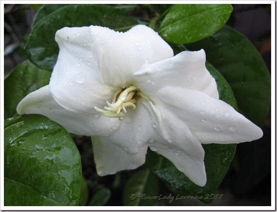 06-17-tahitian-gardenia