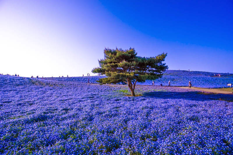 Hitachi Seaside Park Nemophila (baby blue eyes flowers) photo23