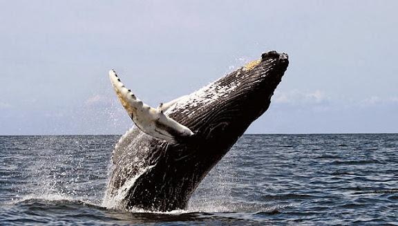 https://lh3.googleusercontent.com/-Ygz52KXhm7w/UpNum7EgshI/AAAAAAAAE-w/1Zr3x3ob5WE/s576/baleinwalvis.jpg