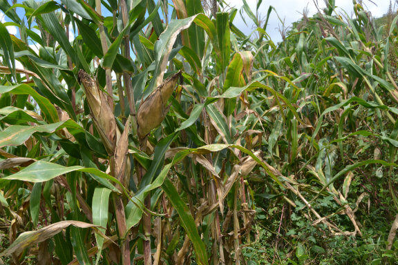 Maize plantation s£xually escaped. PHOTO | NMG