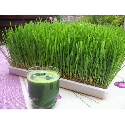 गेहूँ के जवारे के फायदे, संजीवनी बूटी है गेहूँ का जवारा, Health Benefits of Wheat Grass in hindi