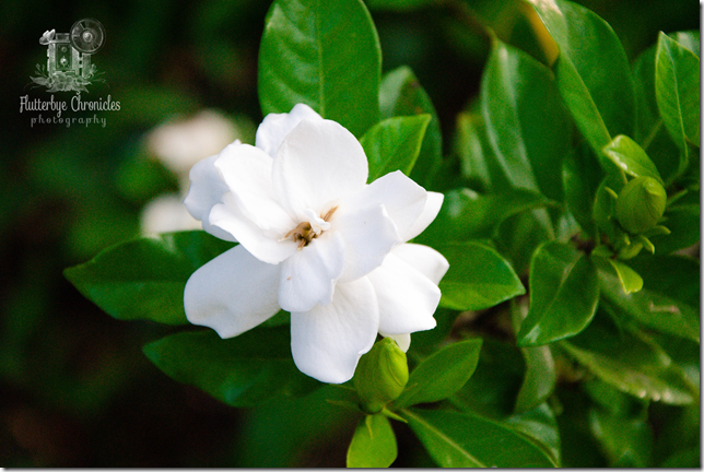 Gardenia -2(WW) watermarked
