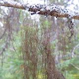 Old Man's Beard lichen (Usnea)