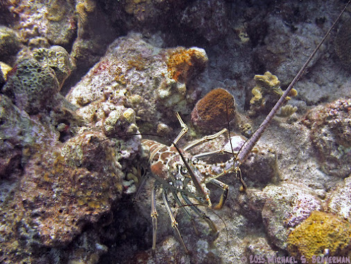 It's the Caribbean Spiny Lobster (Panulirus argus). This one was found, as is typical, hiding out under...